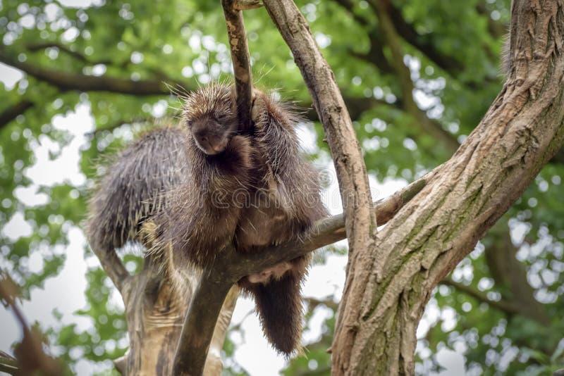 North American porcupine, Erethizon dorsatum, Canadian porcupine or common porcupine sleeps on the tree. Close up. North American porcupine Erethizon dorsatum stock photo