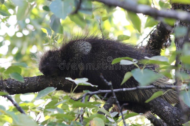 North American Porcupine - Erethizon dorsatum. A North American Porcupine (Erethizon dorsatum) napping in a tree stock photo