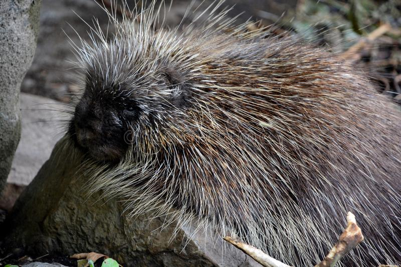 The North American porcupine Erethizon dorsatum. Also known as the Canadian porcupine or common porcupine, is a large rodent in the New World porcupine family royalty free stock photography