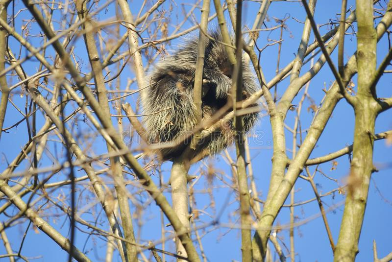 North American porcupine, or Erethizon dorsatum. North American porcupine Erethizon dorsatum is on the tree in winter. In Zagreb Zoo, Croatia royalty free stock photography
