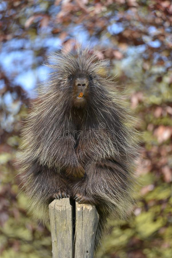 North American porcupine. The North American porcupine Erethizon dorsatum, also known as the Canadian porcupine or common porcupine, perched on stake with its royalty free stock images