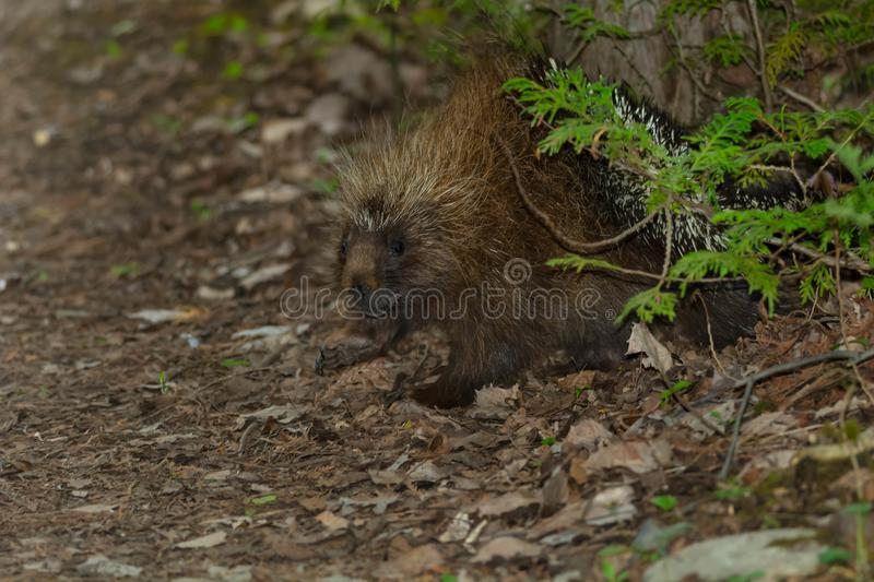 North American Porcupine. Walking in the leaf litter on the forest floor. MacGregor Point Provincial Park, Port Elgin, Ontario, Cabada stock images