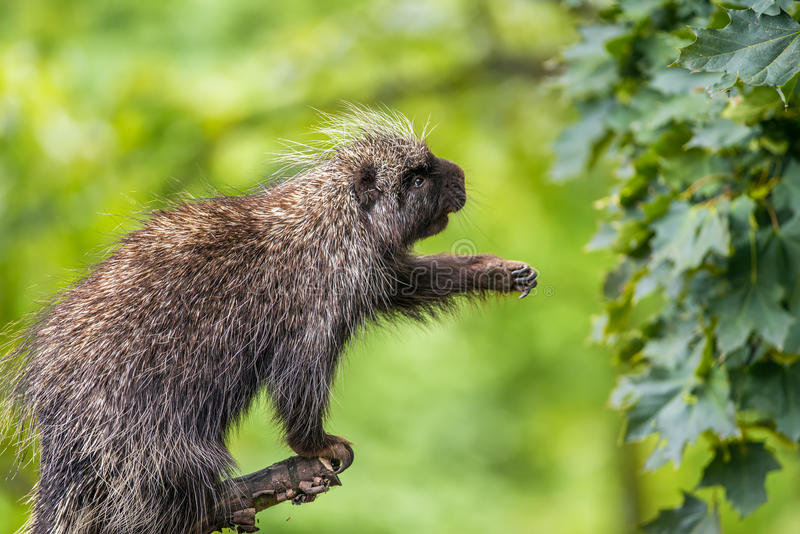 North American porcupine reaching for leaves. North American porcupine (Erethizon dorsatum) reaching for leaves stock images