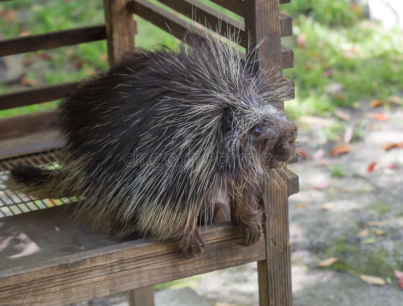 North American Porcupine. The North American porcupine, or porcupine it is the second largest rodent in North America after the beaver. Body from head to tail is royalty free stock image
