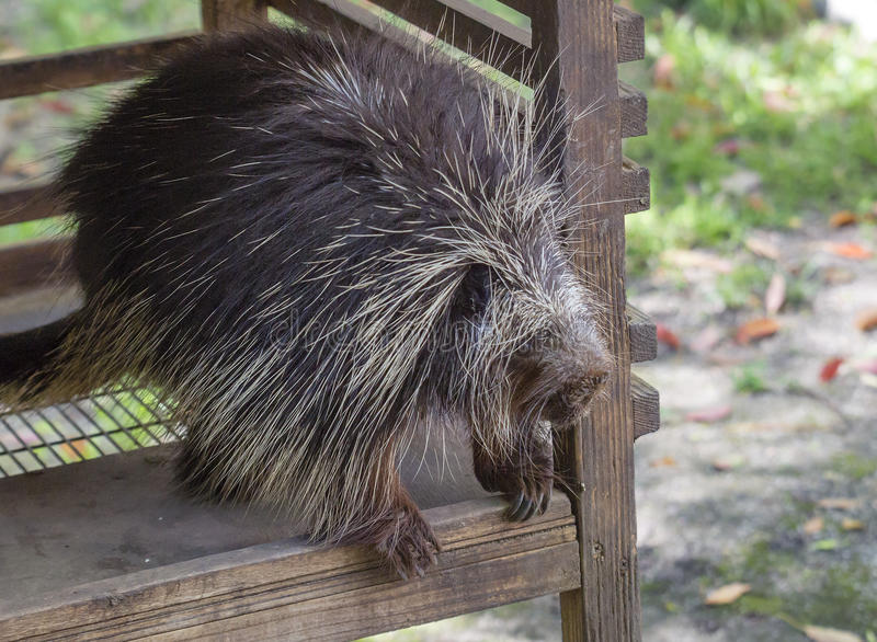 North American Porcupine. The North American porcupine, or porcupine it is the second largest rodent in North America after the beaver. Body from head to tail is royalty free stock photo