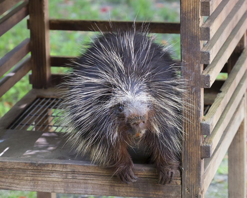 North American Porcupine. The North American porcupine, or porcupine it is the second largest rodent in North America after the beaver. Body from head to tail is stock images