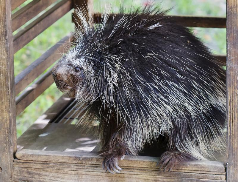 North American Porcupine. North American porcupine is the second largest rodent in North America after beaver. The body from head to tail is covered with royalty free stock photo
