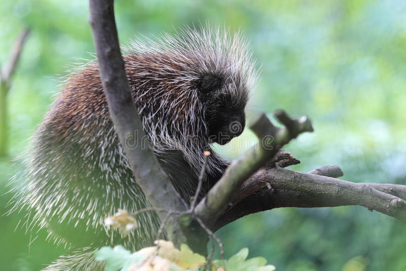 North American porcupine. Sitting on the branches royalty free stock photo