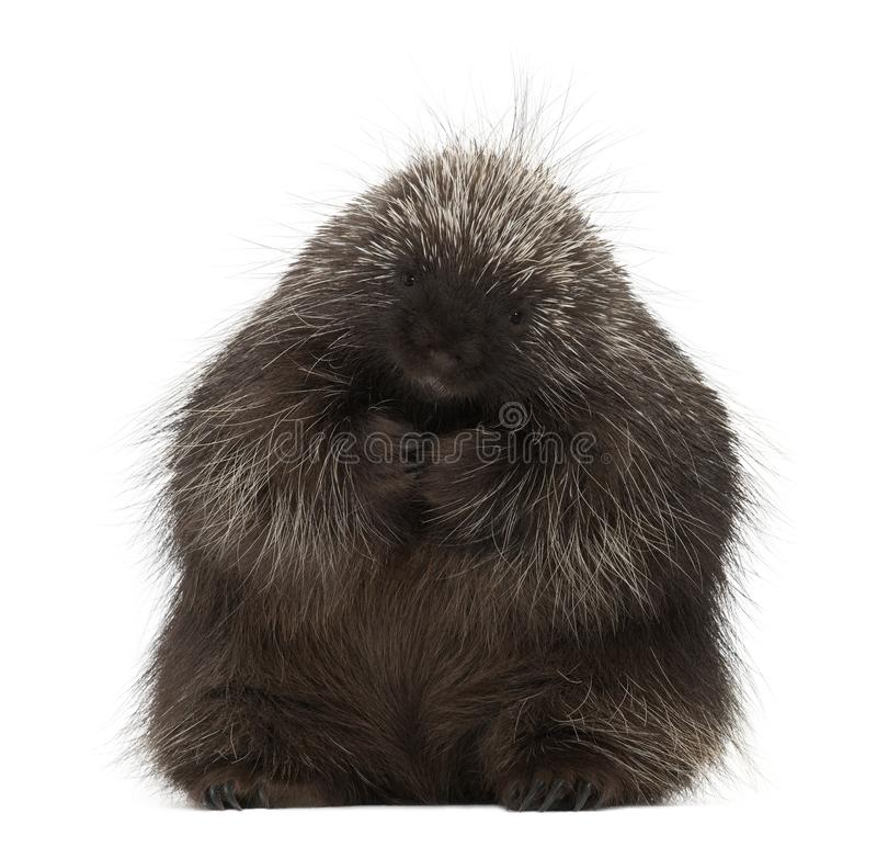 North American Porcupine sitting, Erethizon dorsatum, also known. As Canadian Porcupine or Common Porcupine against white background stock images