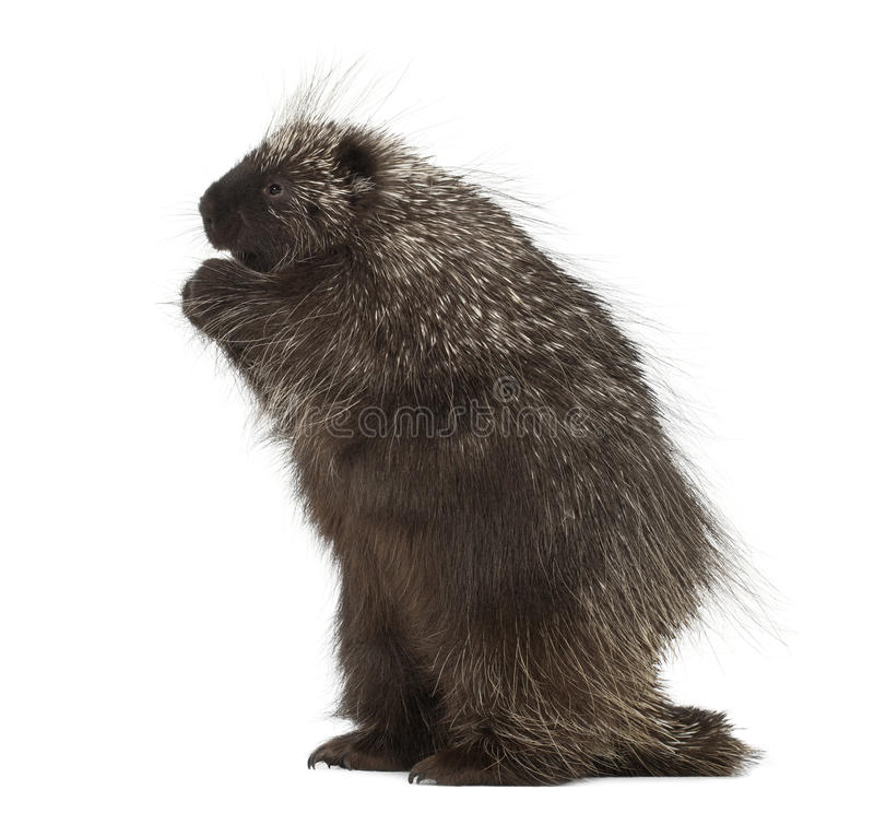 North American Porcupine standing on hind legs. Erethizon dorsatum, also known as Canadian Porcupine or Common Porcupine against white background royalty free stock photos