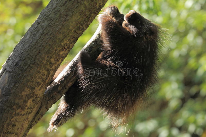 North american porcupine. On the tree stock photo
