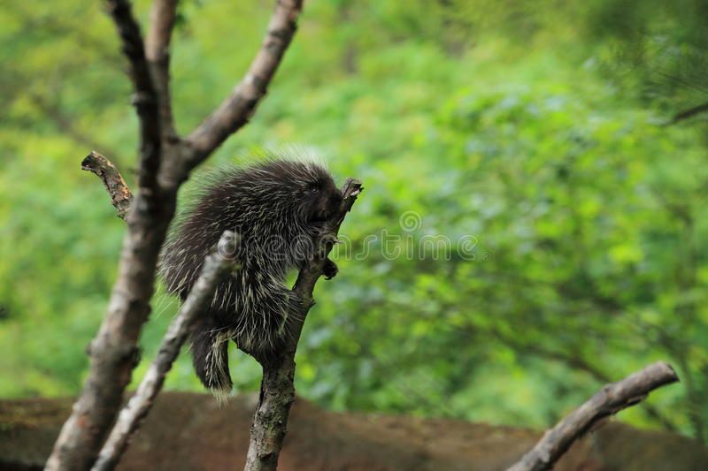 North American porcupine. On the tree royalty free stock image