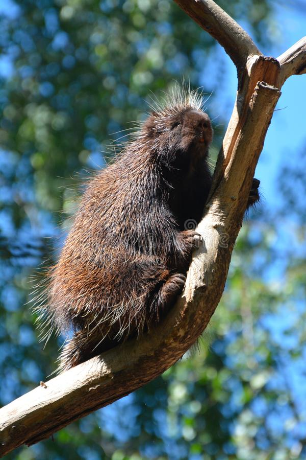 A north american porcupine on a tree. A north american porcupine backs down from a tree royalty free stock image