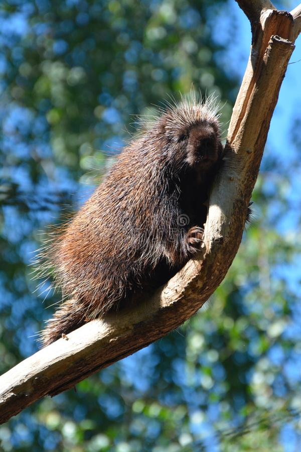 A north american porcupine on a tree. A north american porcupine backs down from a tree royalty free stock photography