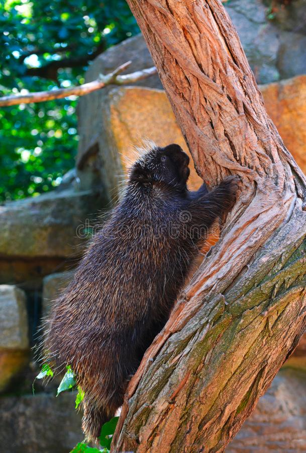 A north american porcupine on a tree. A north american porcupine backs down from a tree royalty free stock photos