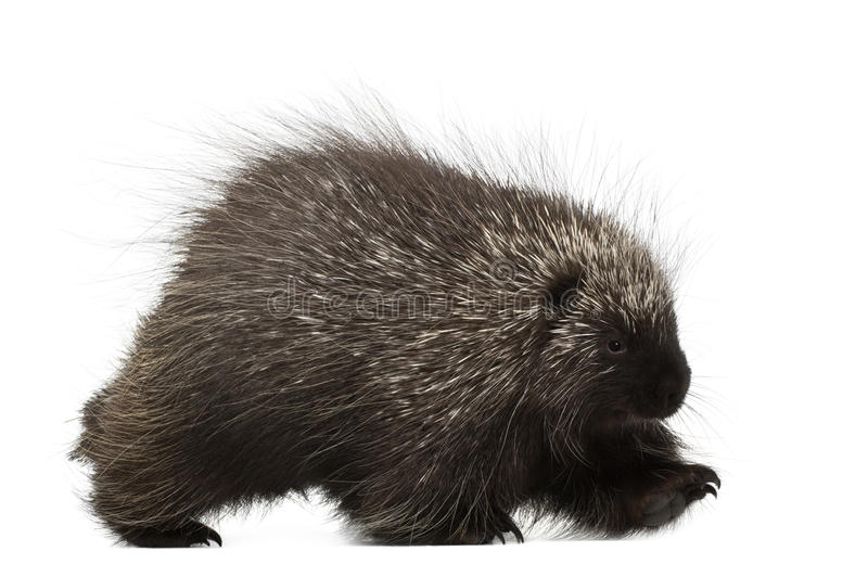 North American Porcupine walking. Erethizon dorsatum, also known as Canadian Porcupine or Common Porcupine against white background royalty free stock photos