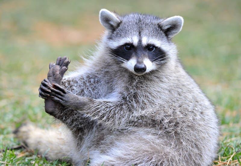 North american raccoon,yellowstone nat park stock photo