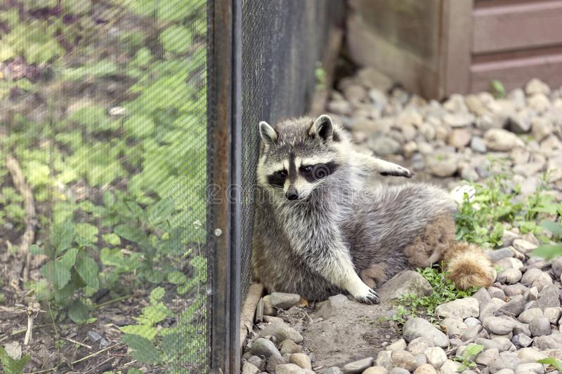 North American Racoon royalty free stock photography