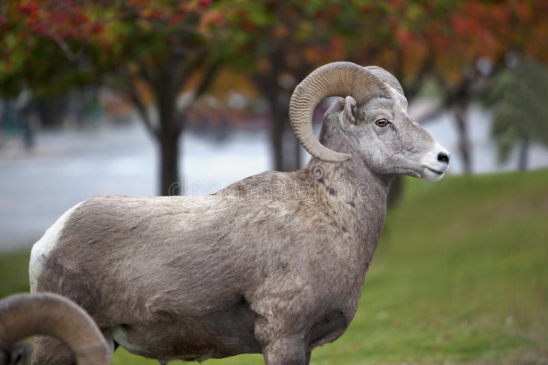 Download North American Ram stock image. Image of sheep, standing - 17479561