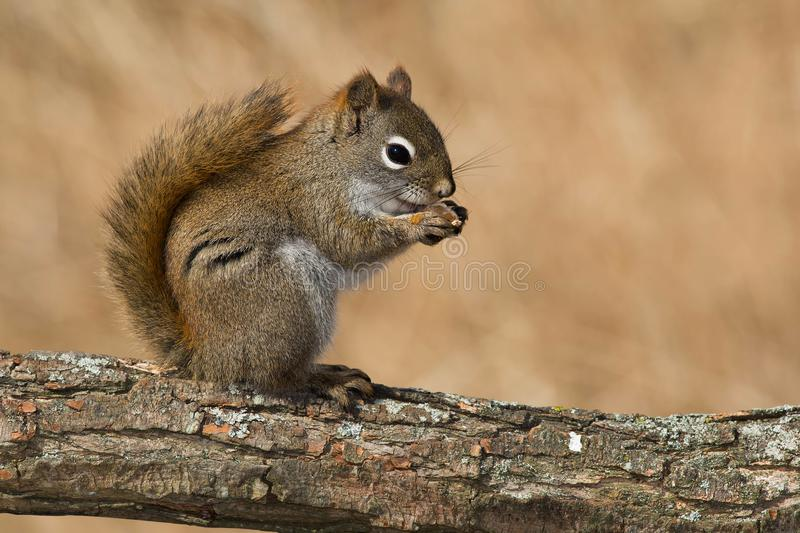 North American Red Squirrel. Sitting on a log eating. Lynde Shores Conservation Area, Whitby, Ontario, Canada royalty free stock photos
