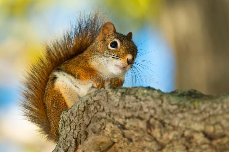 North American Red Squirrel. Standing on a log. Rosetta McClain Gardens, Toronto, Ontario, Canada stock image