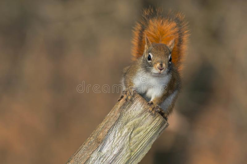 North American Red Squirrel. Standing up on a fence post. Lynde Shores Conservation Area, Whitby, Ontario, Canada stock photo