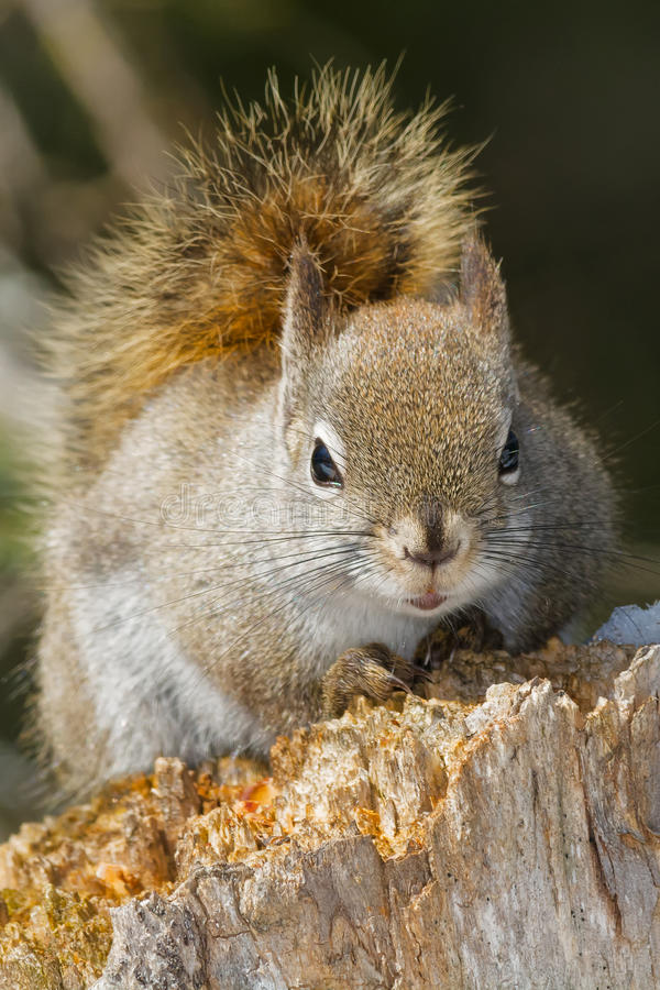 North American Red Squirrel. Resting on a rotting stump. Algonquin Provincial Park, Ontario, Canada stock images