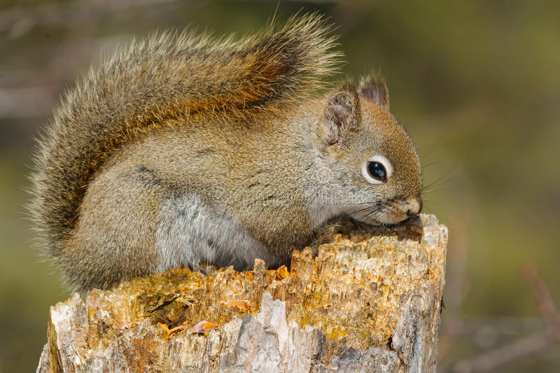 North American Red Squirrel. Resting on a rotting stump. Algonquin Provincial Park, Ontario, Canada royalty free stock image