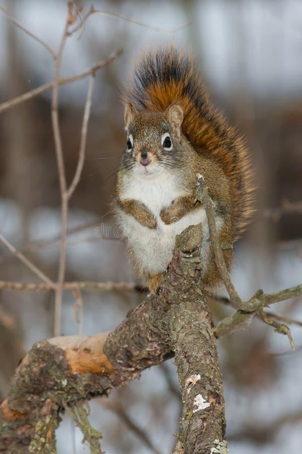 North American Red Squirrel. Standing on a branch. Whitemud Creek Park, edmonton, Alberta, Canada stock photo