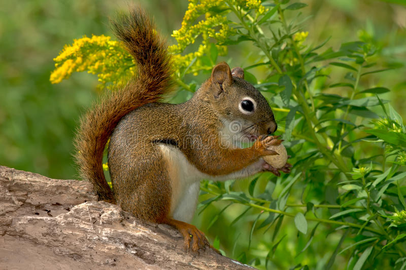 North American Red Squirrel. Standing on a log eating a peanut. Lynde Shores Conservation Area, Whitby, Ontario, Canada stock photography