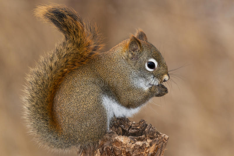 North American Red Squirrel. Standing on an old fence post. Lynde Shores Conservation Area, Whitby, Ontario, Canada stock photo