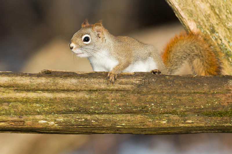 North American Red Squirrel. Standing on a rotting fence rail. Lynde Shores Conservation Area, Whitby, Ontario, Canada stock photography
