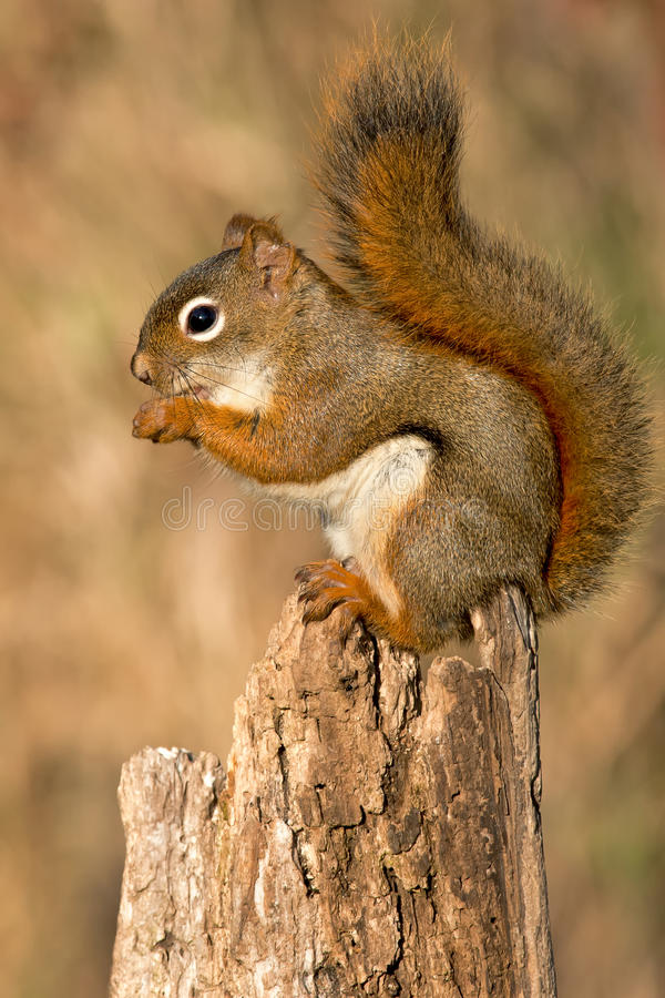 North American red Squirrel. Standing on a stump eating. Lynde Shores Conservation Area, Whitby, Ontario, Canada royalty free stock image