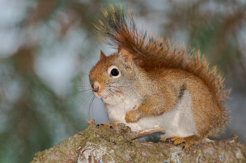 North American Red Squirrel. Standing on a tree branch. Rosetta McClain Gardens, Toronto, Ontario, Canada royalty free stock photos