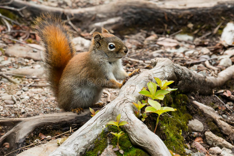 North American Red Squirrel. Standing on a tree root. Gros Morne National Park, Newfoundland, Canada royalty free stock photography