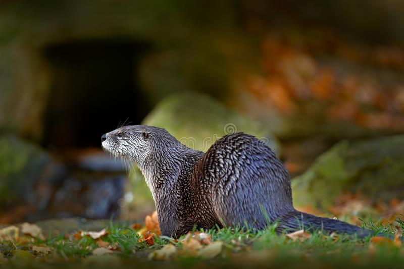 North American river otter, Lontra canadensis, detail portrait water animal in the nature habitat, Germany. Detail portrait of wat stock photo
