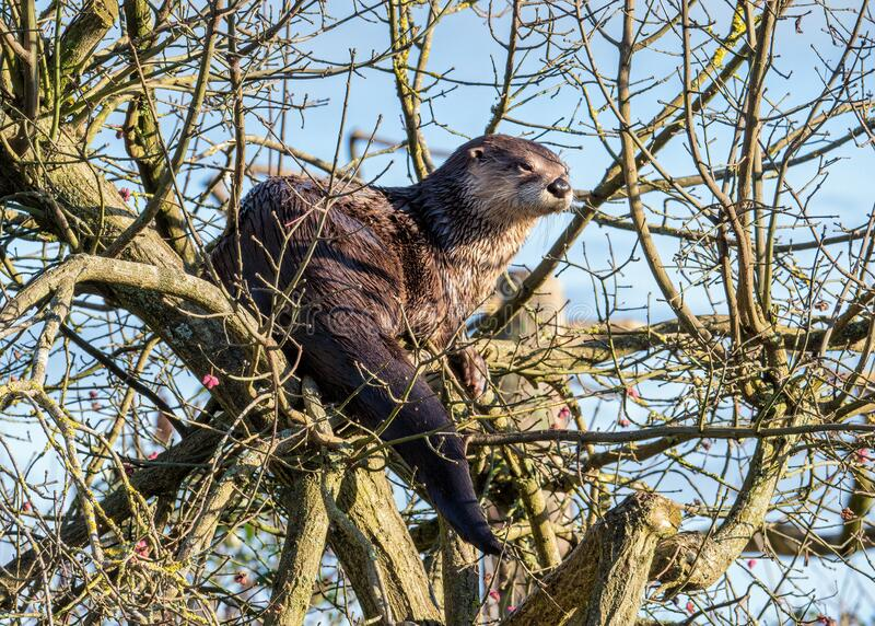 North American River Otter - Lontra canadensis in a tree. A North American River Otter - Lontra canadensis on a sunny winters day sitting in a tree at royalty free stock images
