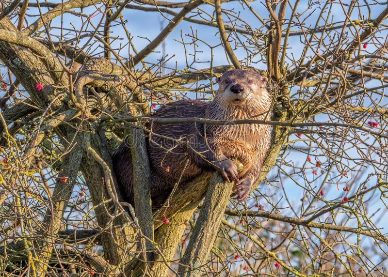North American River Otter - Lontra canadensis in a tree. A North American River Otter - Lontra canadensis on a sunny winters day sitting in a tree at stock photos