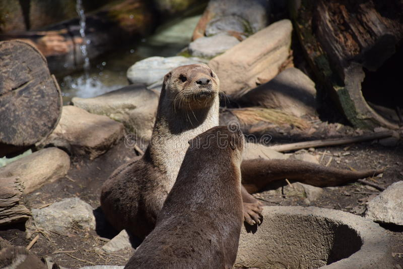North American River Otter (Lutra canadensis) stock photos