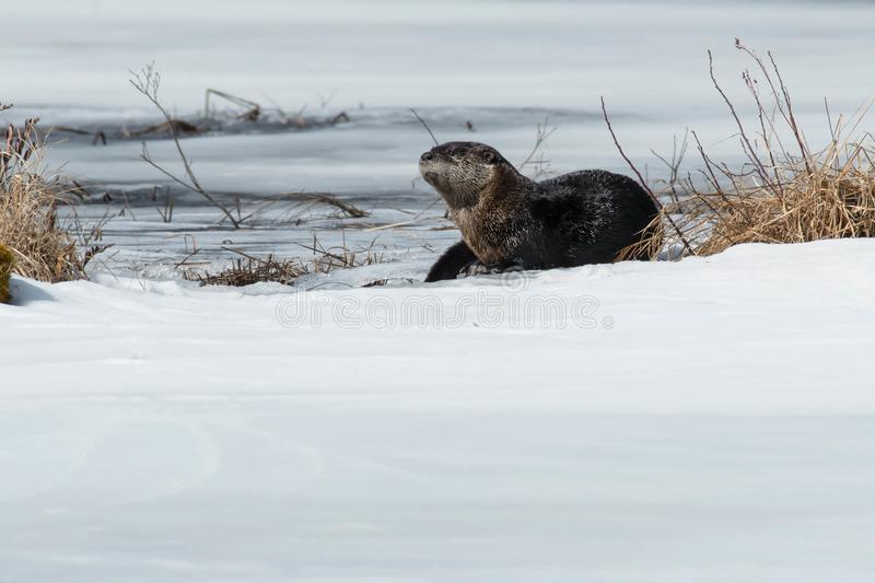 North American River Otter - Lontra canadensis. North American River Otter standing on the ice at the edge of a river. Algonquin Provincial Park, Ontario, Canada stock photography