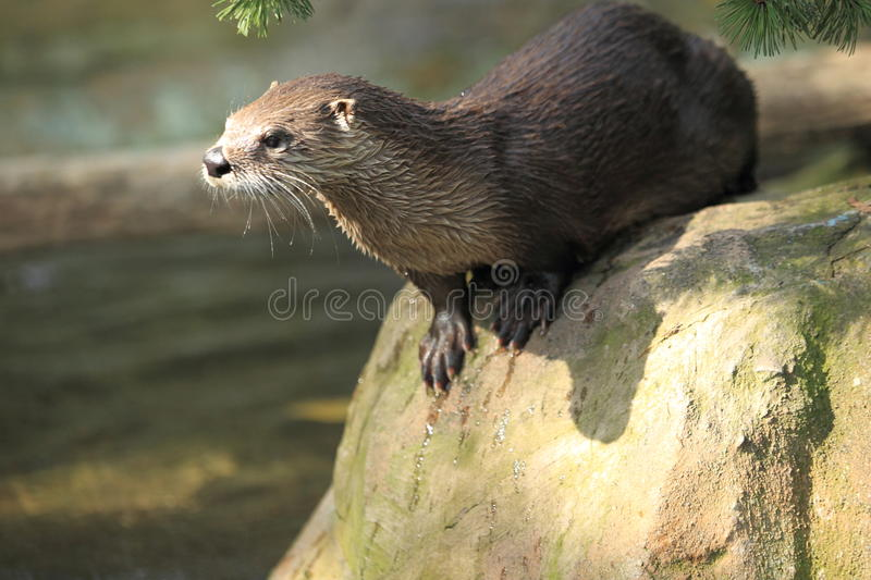 North american river otter. On the rock stock photo