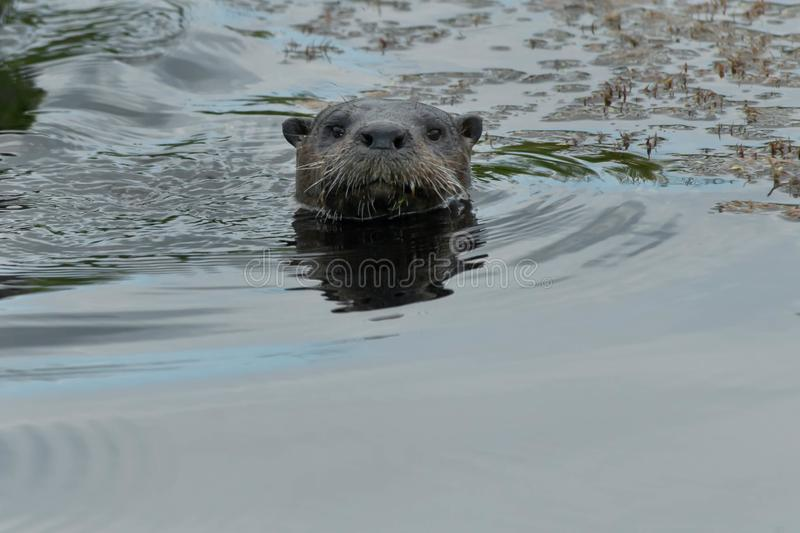North American River Otter - Lontra canadensis. North American River Otter sticking its head out of the water looking for possible danger. Carden Alvar royalty free stock photo