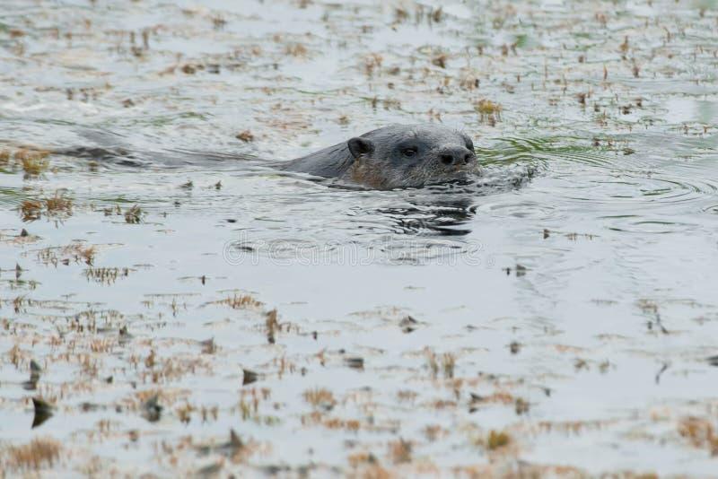North American River Otter - Lontra canadensis. North American River Otter swimming in the swampy water. Carden Alvar Provincial Park, Kawartha Lakes, Ontario stock photos
