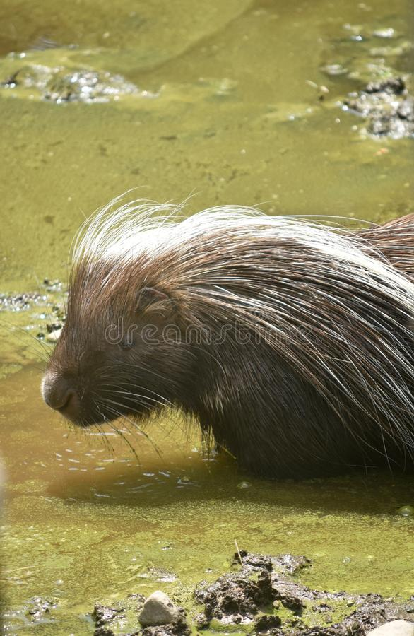 North american rodent standing in dirty water. Adorable rodent standing in water stock images