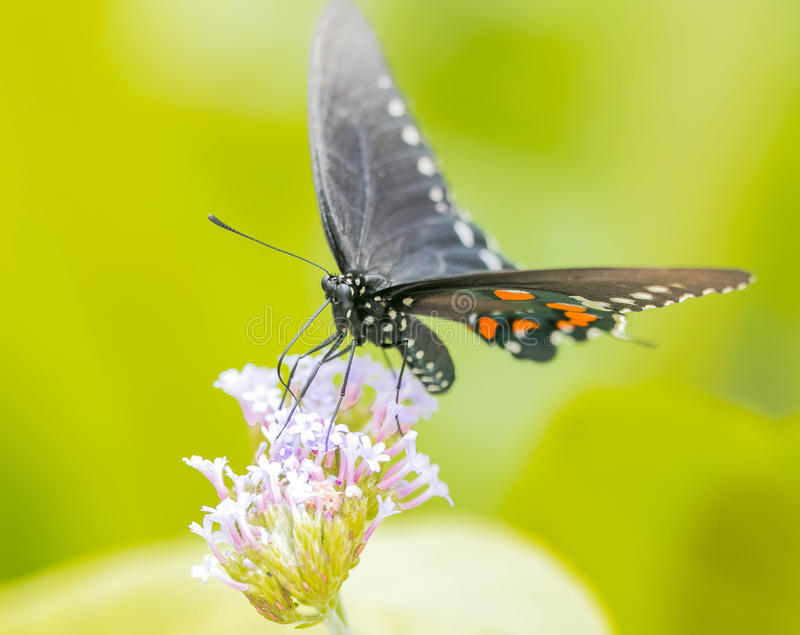 North american swallowtail butterfly, close up macro shot stock photo