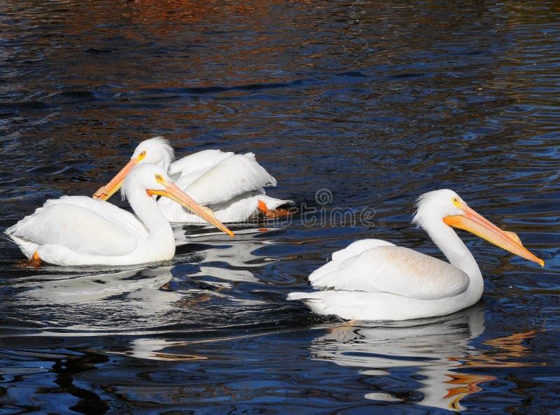 North American White Pelicans Stock Photos