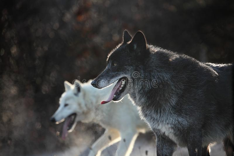 A north american wolf male Canis lupus with an Arctic Wolf Canis lupus arctos staying in the dry grass. royalty free stock image