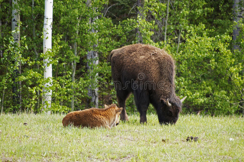 Download North American Wood Bison stock image. Image of highway - 51717193