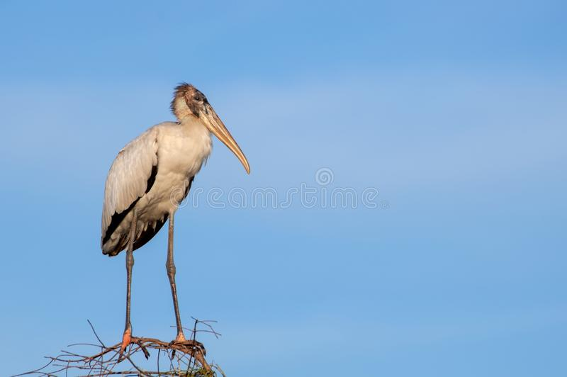 A North American wood stork. A threatened North American wood stork mycteria americana, the only stork native to North America, perched on dry branches in Big royalty free stock images