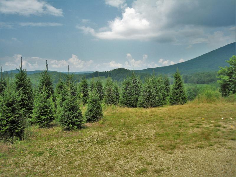 North Carolina Christmas Tree Farm. One of the many Christmas tree farms in northwestern North Carolina where Fraser Firs are commonly grown royalty free stock photo